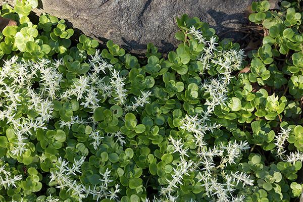 native plant ground cover wild stonecrop (Sedum ternatum) grows in a garden.