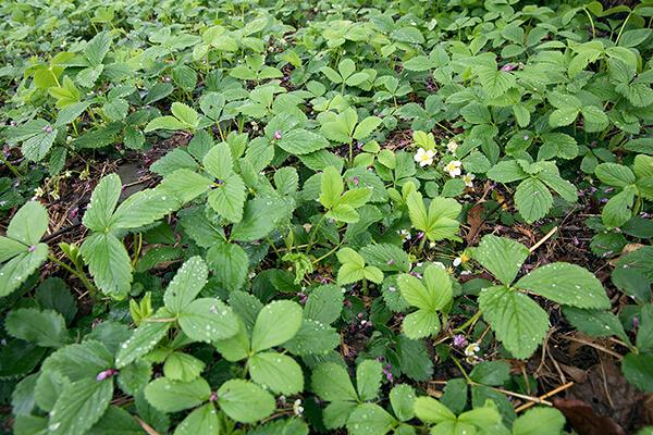 native plant ground cover wild strawberry (Fragaria virginiana) grows in a garden.
