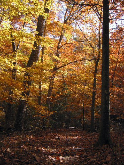 Brilliant fall colors in woodland.